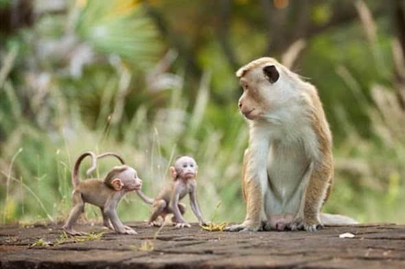 Disney Nature Monkey Kingdom