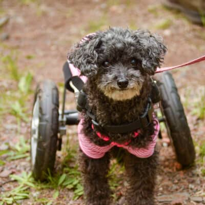 paralyzed dog with wheelchair
