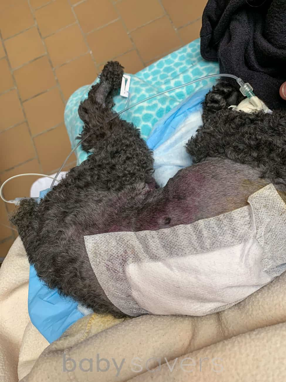 injured dog with bandage and fentanyl drip