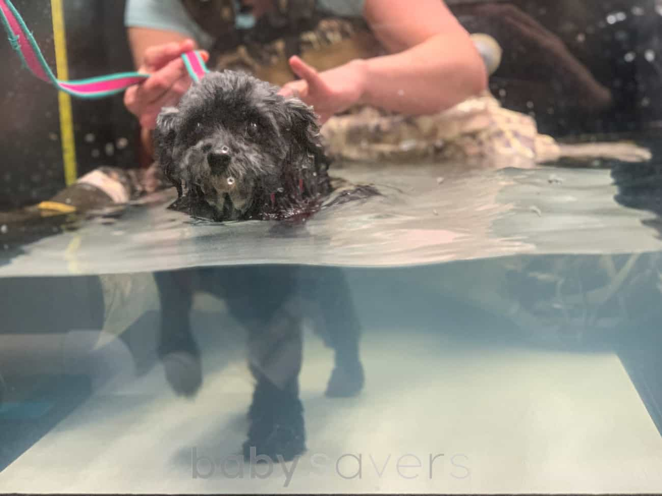 paralyzed dog in hydrotherapy