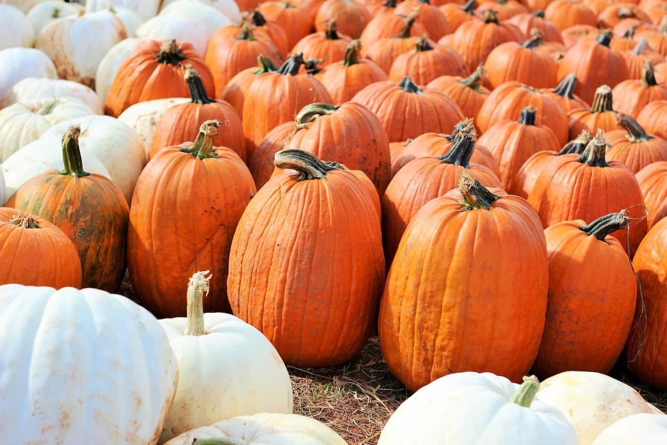 pumpkin patch with orange pumpkins and white pumpkins for carving and painting