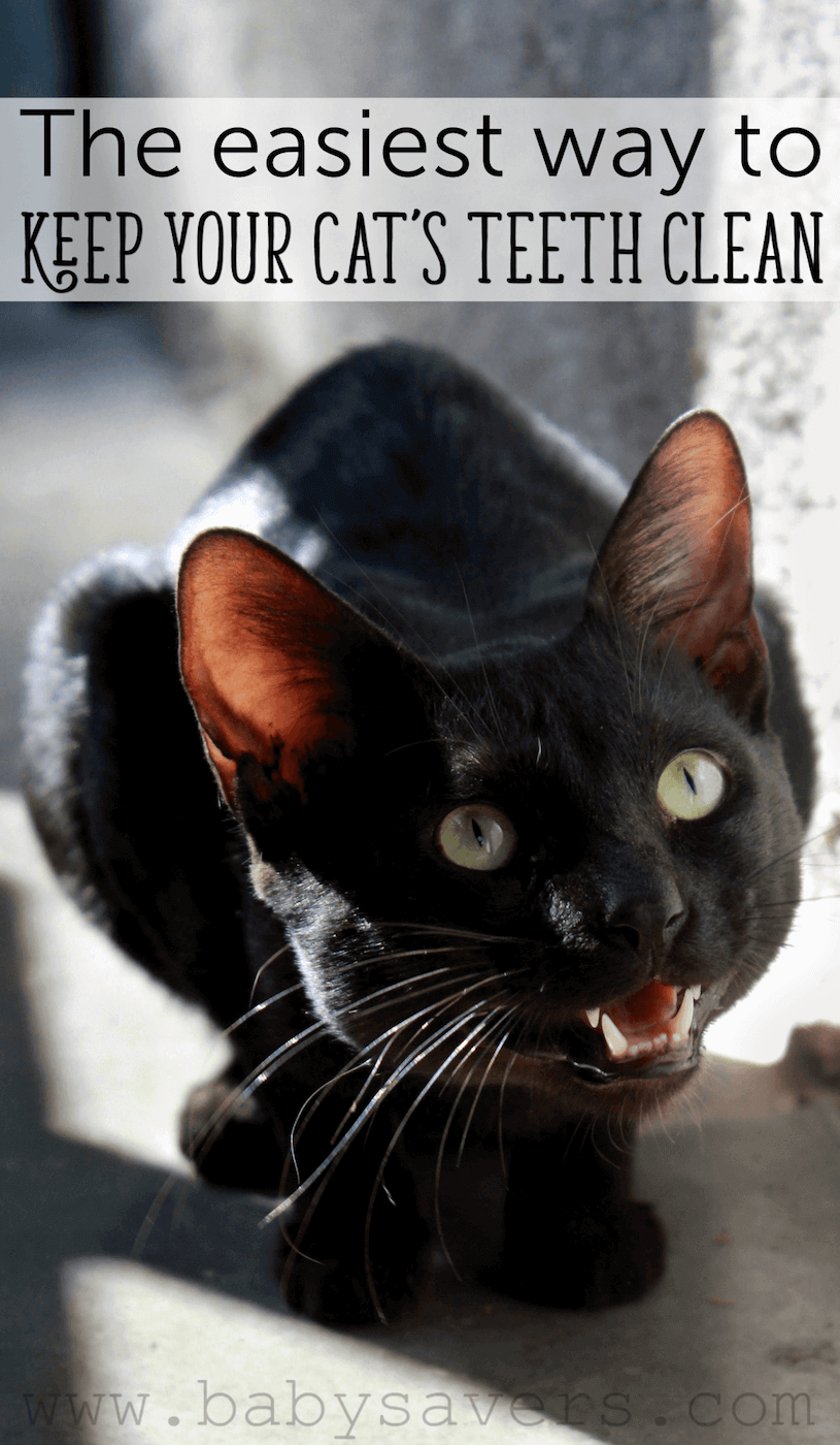 The Easiest Way To Keep Your Cat S Teeth Clean